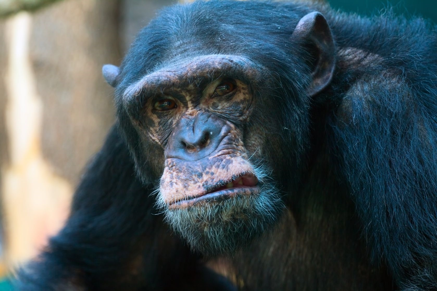 Chimpanz-not-happy.jpg