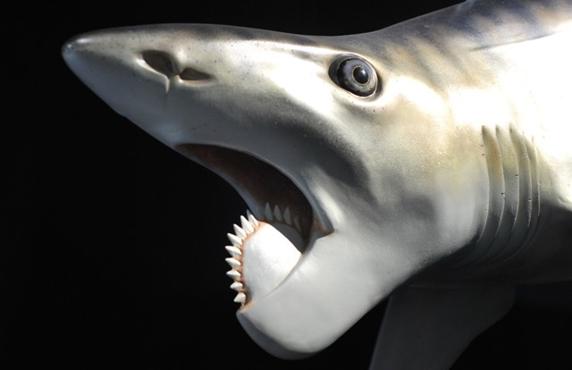 Helicoprion_thumb.jpg