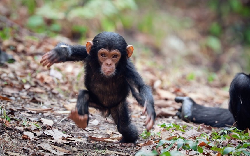 chimpanzee-walking_2273617k.jpg
