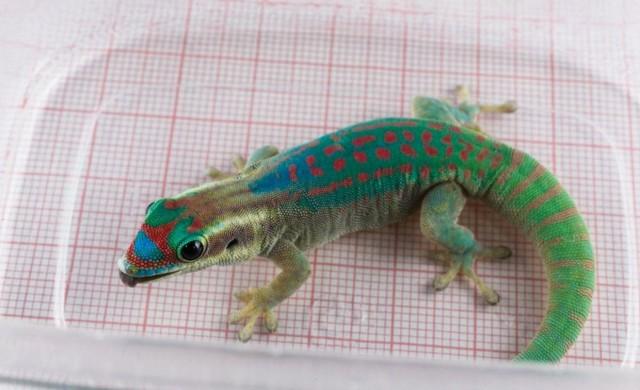 gecko-roscosmos.jpg