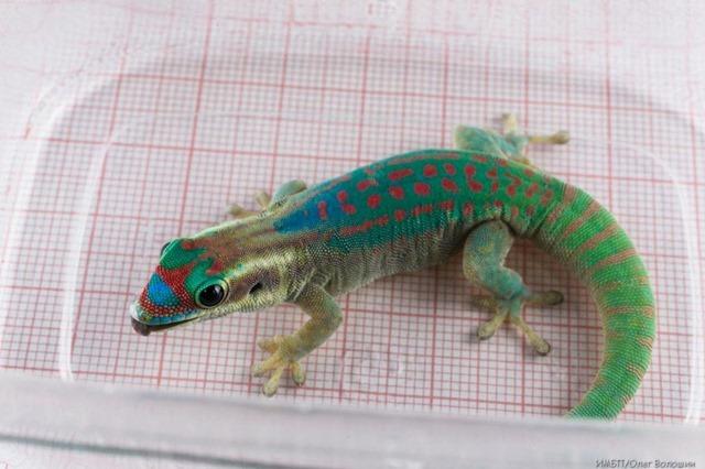 gecko-roscosmos_thumb.jpg