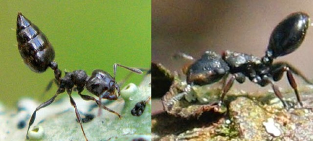 Crematogaster ampla-Cephalotes specularis