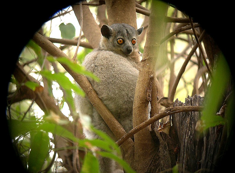 lpilmur-leucopus.jpg
