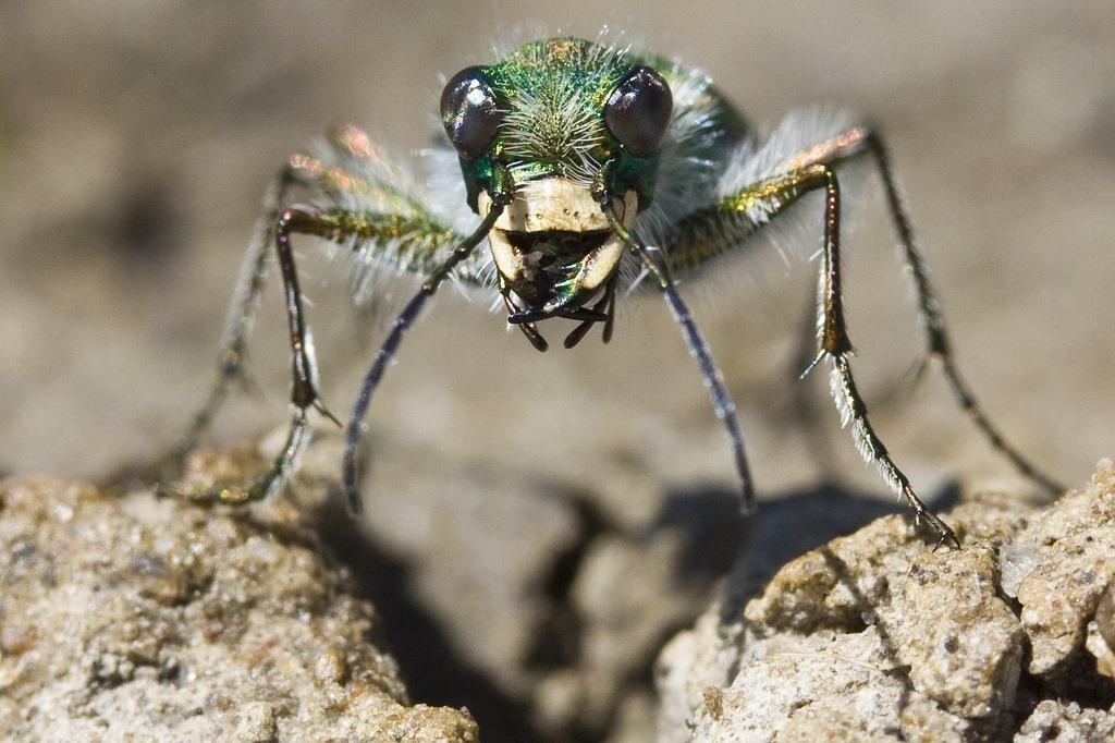 Comment ce coléoptère, qui va si vite que ça l'aveugle, sait quand refermer ses mandibules sur sa proie