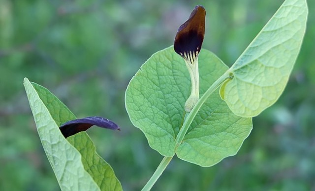 Aristolochia_rotunda12.jpg
