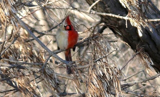 Cardinale-rouge-Bicolore.jpg