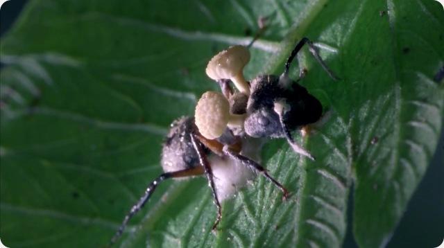 Le champignon cordyceps merge du cerveau des insectes gurumeditation - Champignon qui pousse sur les arbres ...