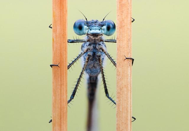 Les libellules sont capables, comme les humains, de concentrer leur attention sur une cible. (Vidéo)
