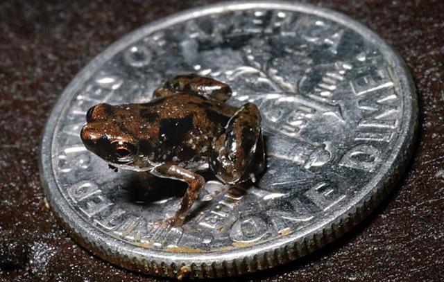 Regardez et écoutez le plus petit vertébré sur Terre.