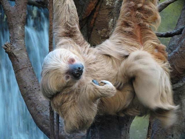 Le paresseux est tellement lent que même sa femme a le temps d'aller voir ailleurs…