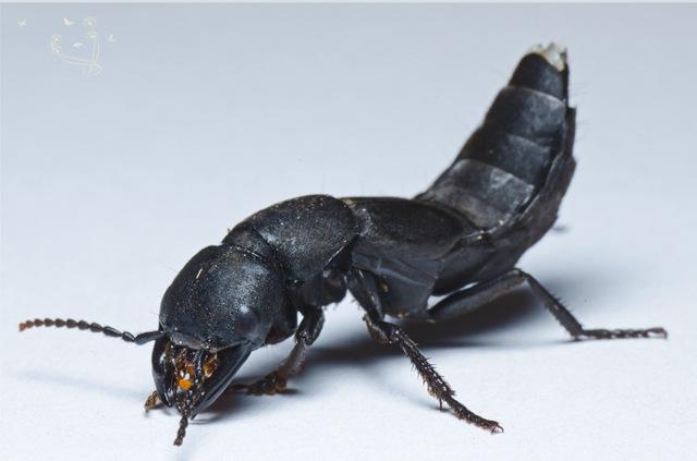 La fidélité de certains coléoptères pue.