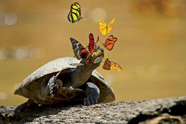 L'image du jour : les larmes de tortue convoitées par des papillons.