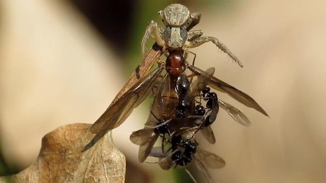 araignée-fourmis-nécrophilie