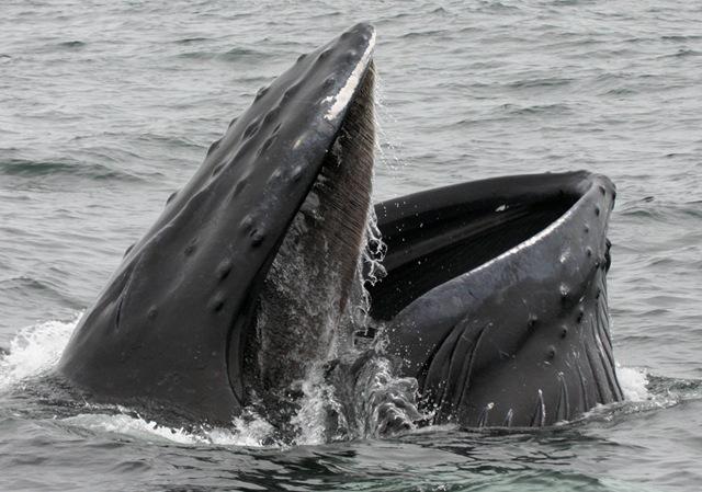 La découverte d'un nouvel organe sensoriel chez la baleine.