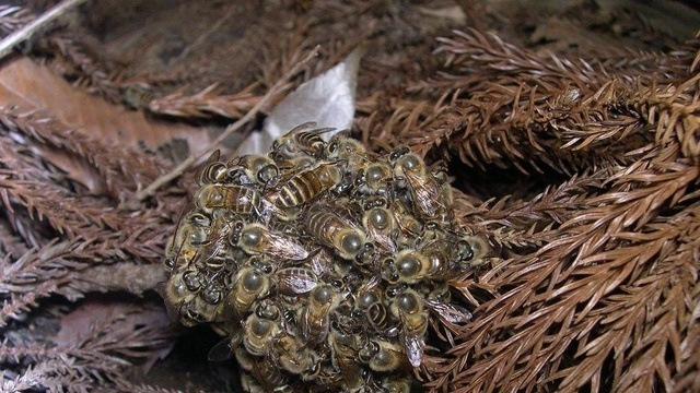 Pour tuer un prédateur, les abeilles japonaises l'entourent dans une boule surchauffée. (Vidéo)
