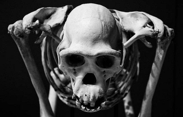 chimpanzee-squelette.jpg