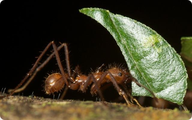fourmis-feuille
