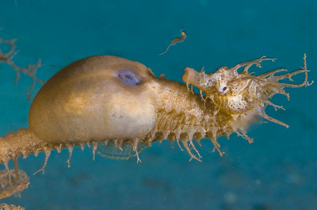 hippocampe-mâle