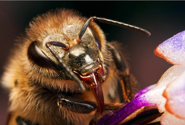 Il n'y a pas que le dard de l'abeille qui est empoisonné, ses mandibules aussi.