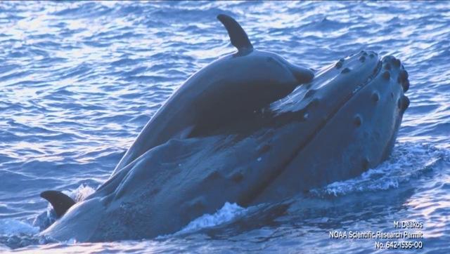 interaction-dauphin-baleine