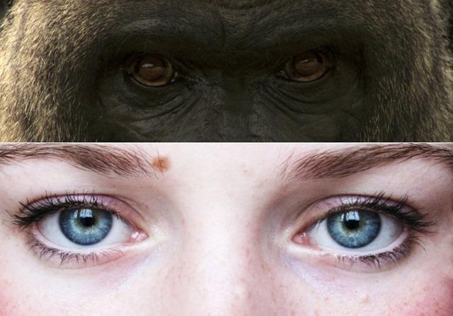 oeil-humain-gorille