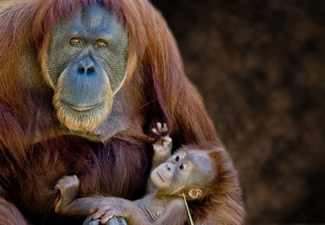 La culture des orang-outans se développent comme la culture humaine.