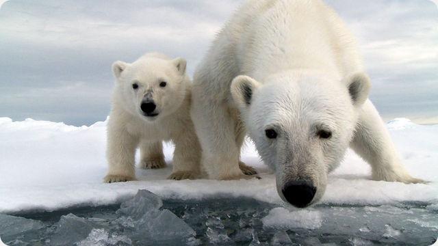 Les ours polaires utilisent, à leur convenance, la haute technologie de l'homme.