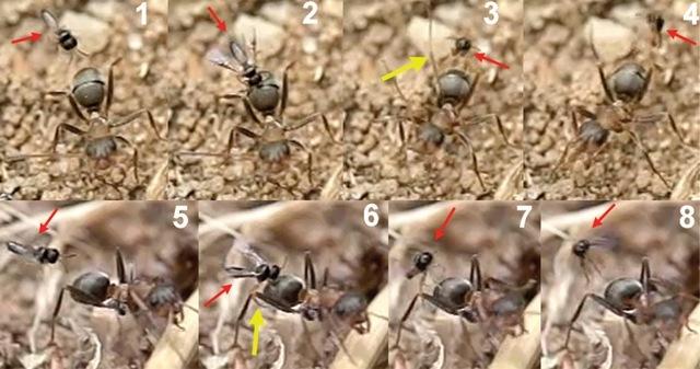 ovipositeur-fourmis-guêpes-parasitoïdes3
