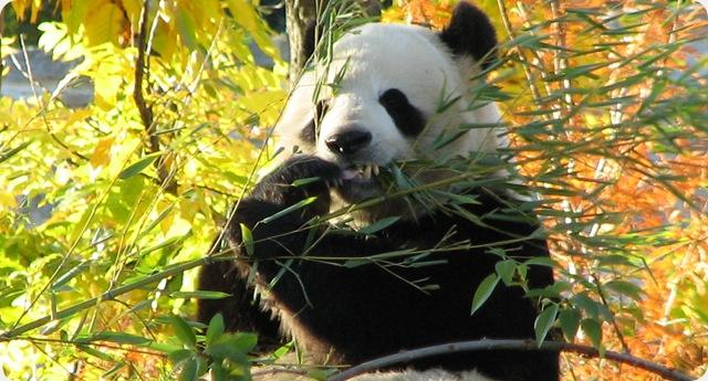 Comment le panda a perdu son goût pour la viande.