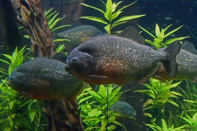 piranhas2