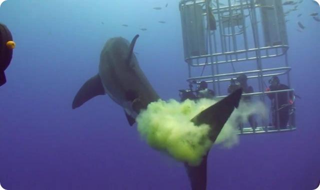 requin-blanc-potpot2