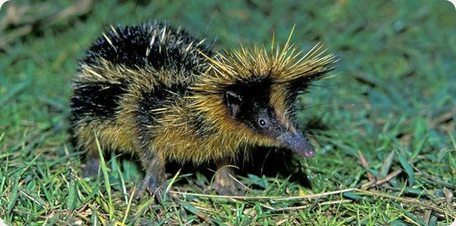 Tenrec zébré : le seul mammifère qui stridule.