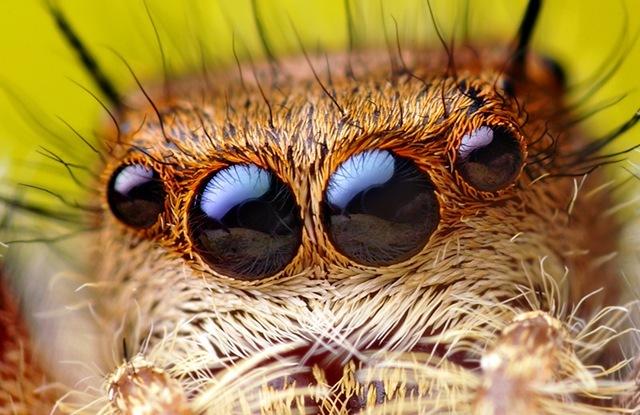 vision-araignée-sauteuse3