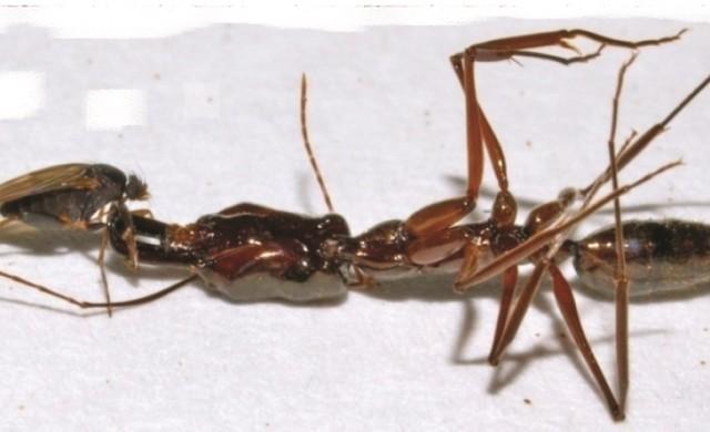 D-longirostrata-Odontomachus-.jpg