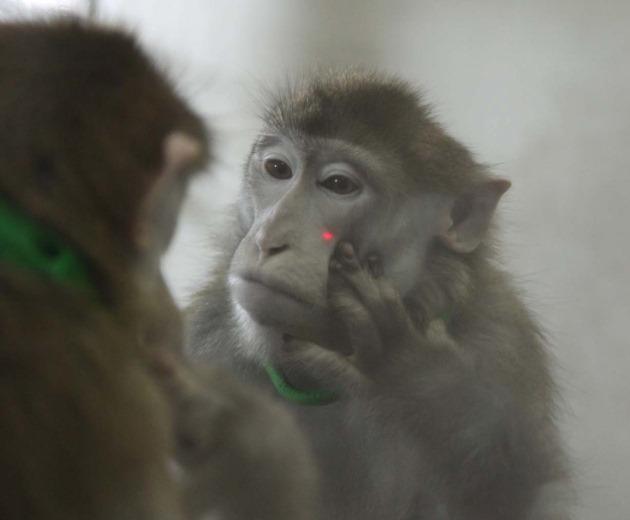 Conscience de soi une nouvelle fois des macaques ont for Se regarder dans un miroir