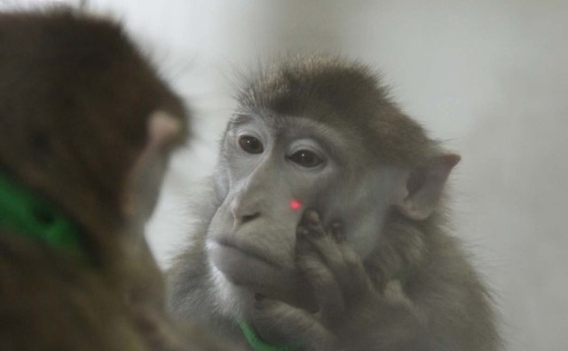 Macaque-test-miroir_thumb.jpg