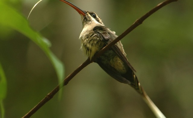 Phaethornis-superciliosus.jpg