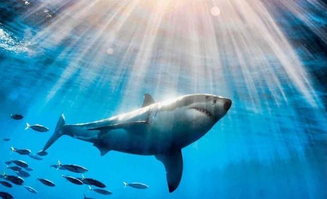 Grand-requin-blanc-Soleil.jpg