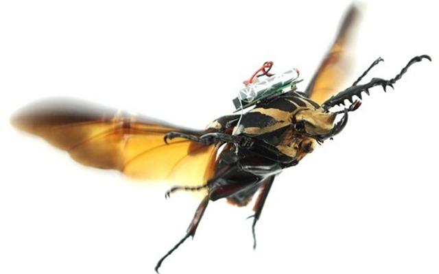 Télécommander le vol d'un coléoptère géant