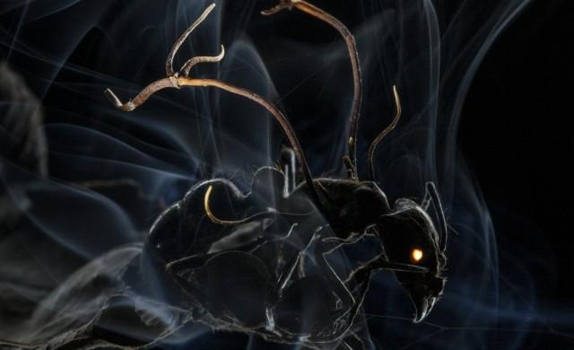 Ophiocordyceps.jpg