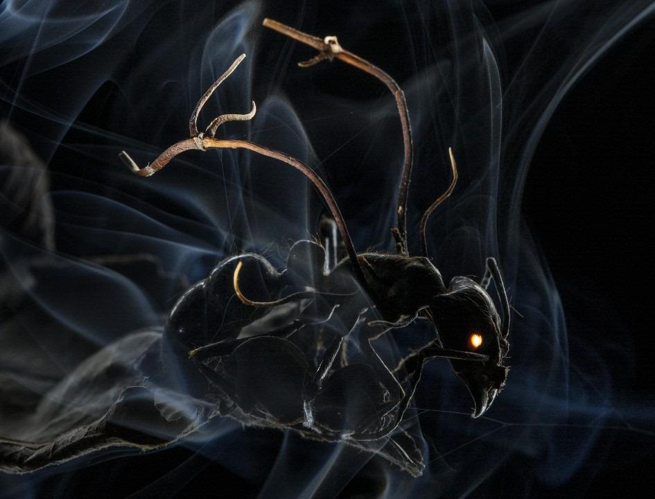 Le champignon zombificateur de fourmis est plus diabolique que prévu