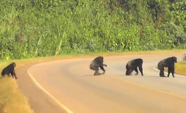 chimpanzs-traverse-route.jpg
