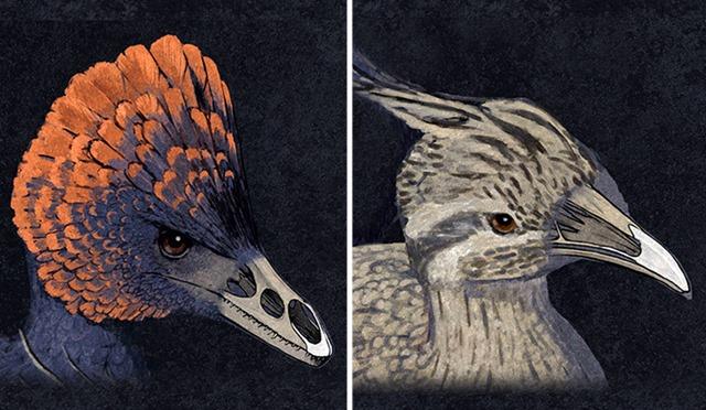 Anchiornis- tinamou