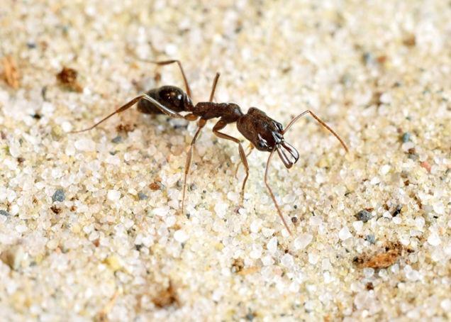 Cette fourmi utilise ses grandes mandibules pour s'éjecter de situations délicates