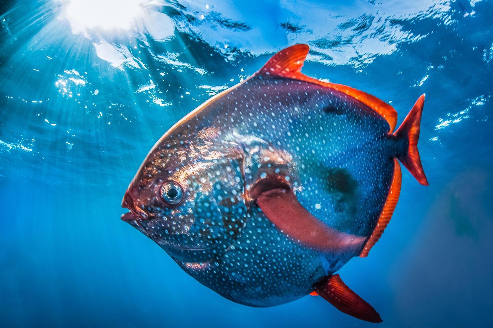 Le saumon des dieux est le seul poisson à avoir vraiment le sang chaud
