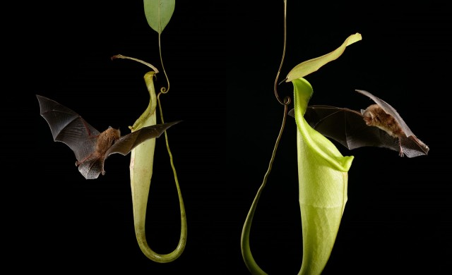 Chauve-souris-Nepenthes-hemsleyana.jpg