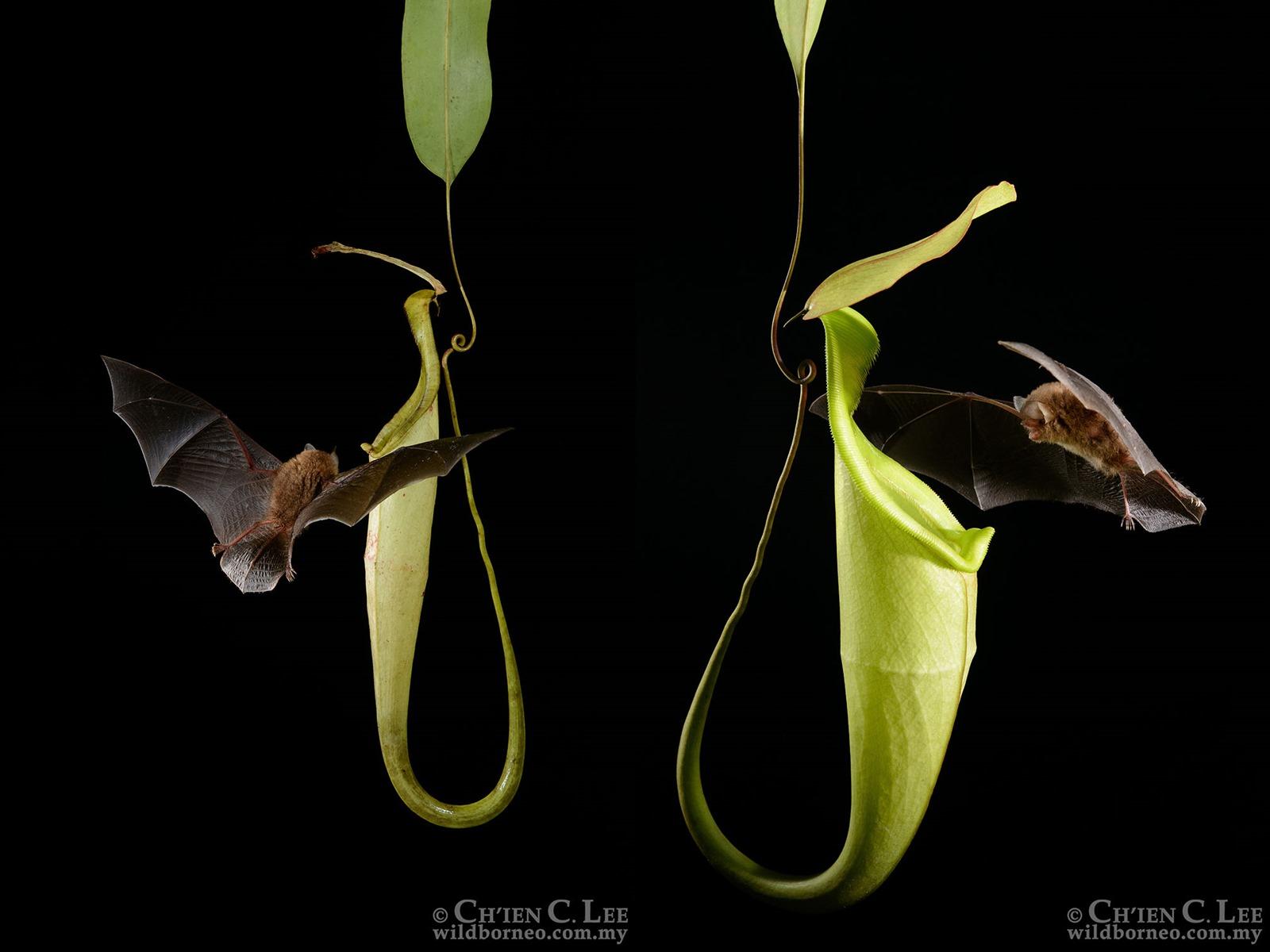 Des plantes carnivores attirent acoustiquement des chauves-souris