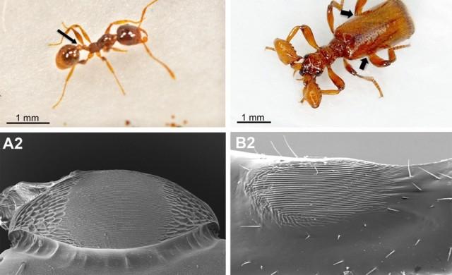 Pheidole-pallidula-vs-Paussus-favieri.jpg