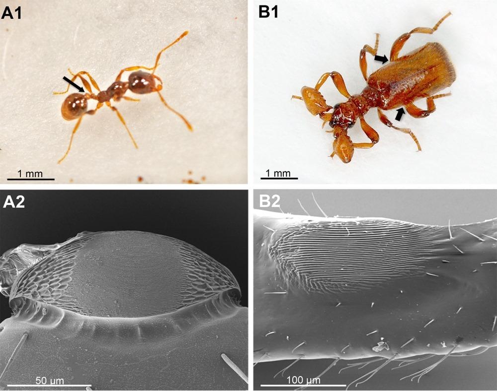 Ce coléoptère imite le son de la reine des fourmis pour être traité en tant que telle