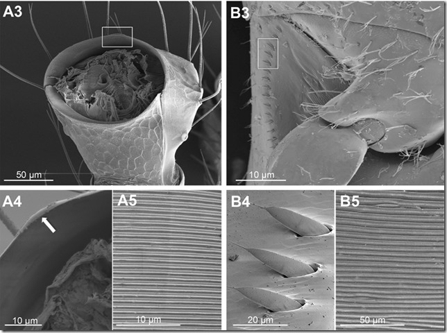 Pheidole pallidula vs Paussus favieri2